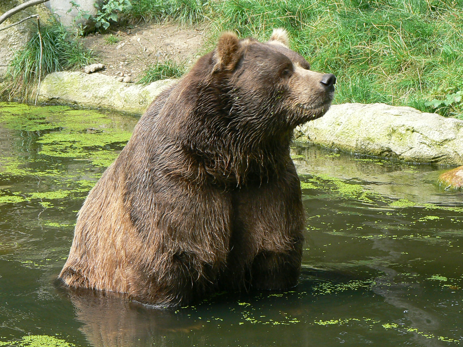 Brown%20Bear%20Kodiak_bear_ursus.JPG