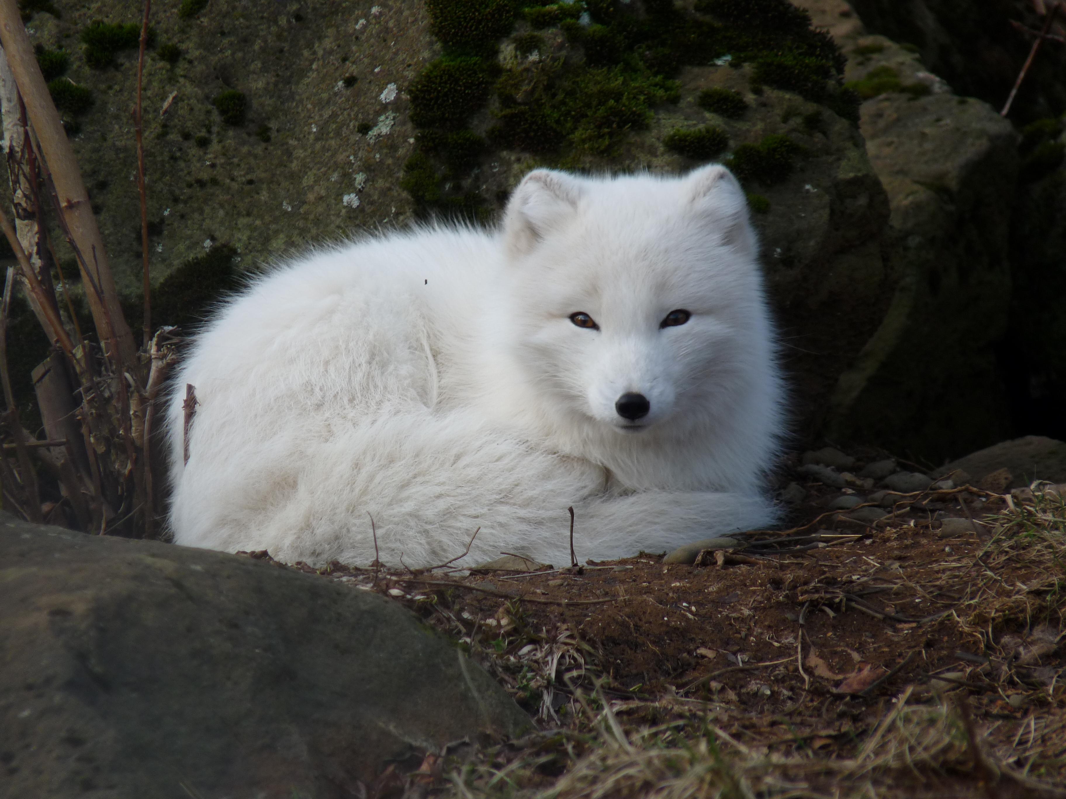 arctic fox cute white - photo #17