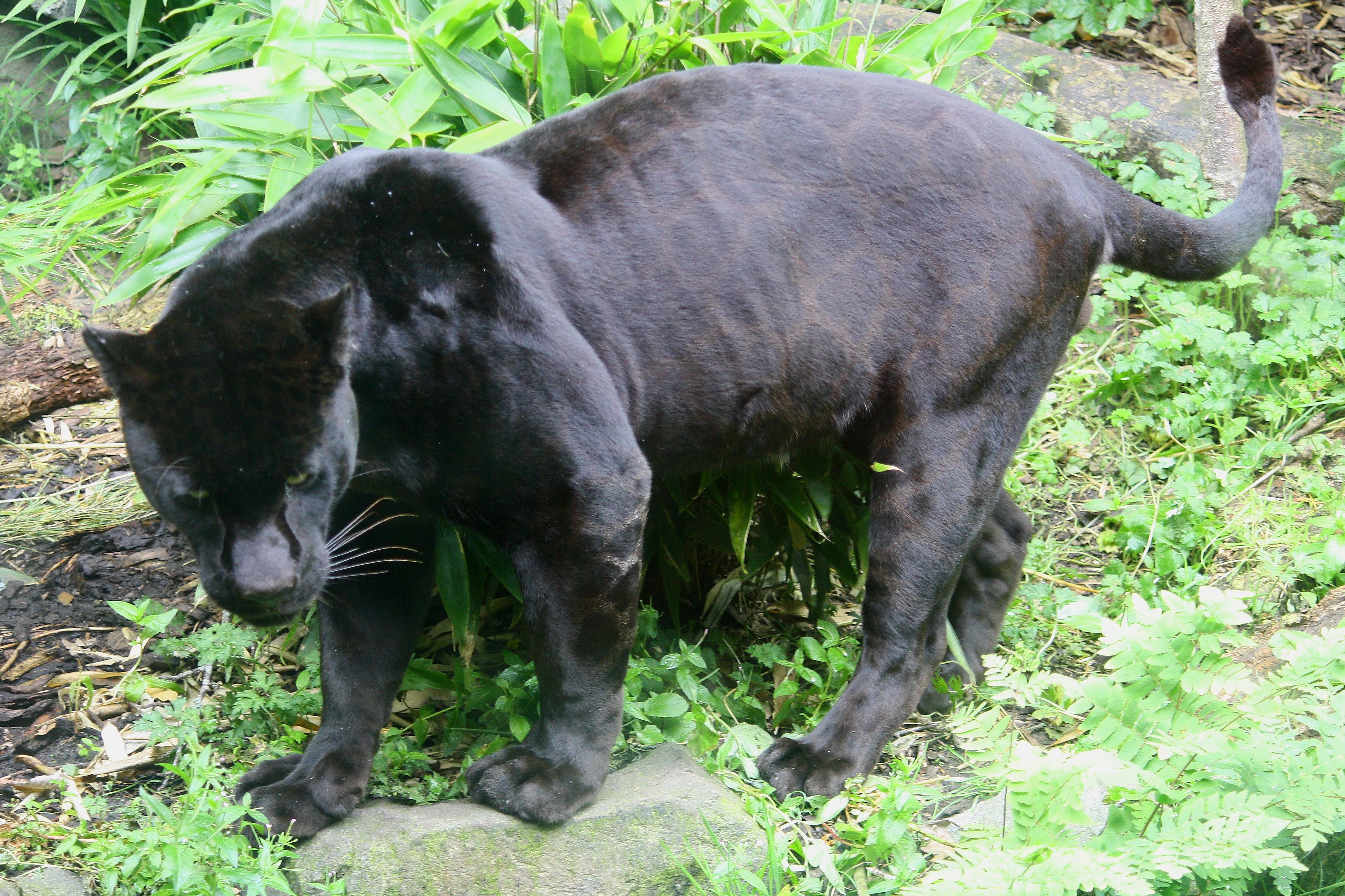 black panther adaptations