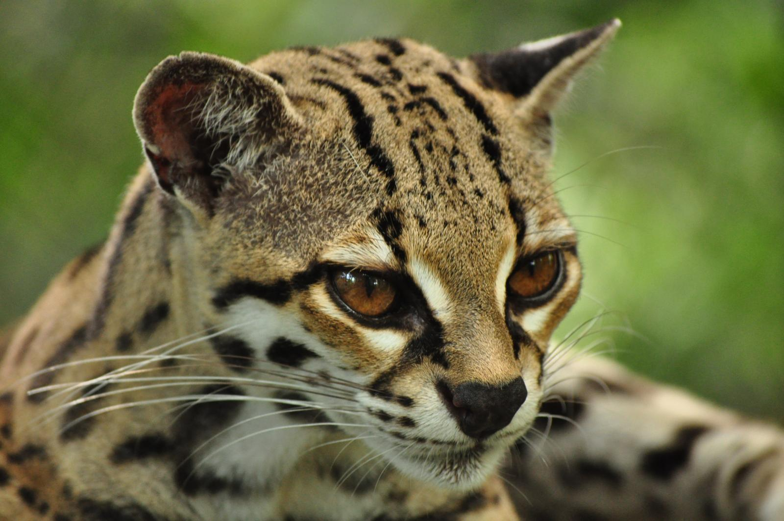 Wild ocelot kittens - photo#19